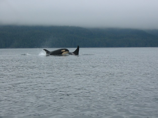 Mother Orca with calf Johnston Strait